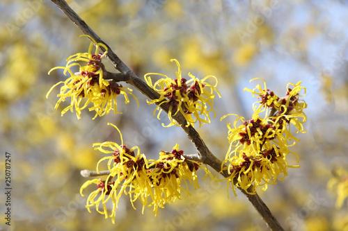 Fototapeta Witch-hazel (Hamamelis mollis) - popular ornamental plant