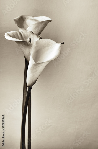 Stampa su Tela Calla lilies