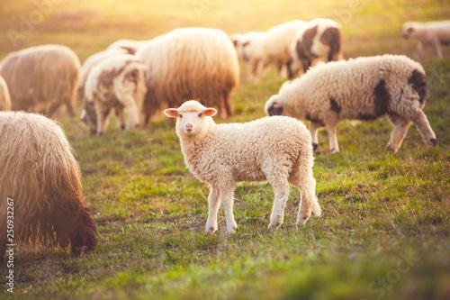 Obraz na plátně Beautiful little lamb at sunset looking at the camera