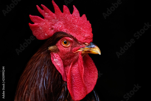 Rooster Black Background Fototapeta
