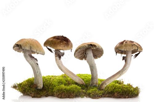 Valokuva Fresh magic mushrooms on moss  isolated over white background.