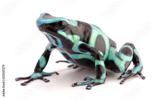 Canvas-taulu poison dart frog, Dendrobates auratus