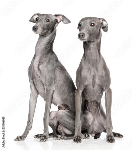 Fotografiet Italian greyhound Dog  Isolated  on White Background in studio