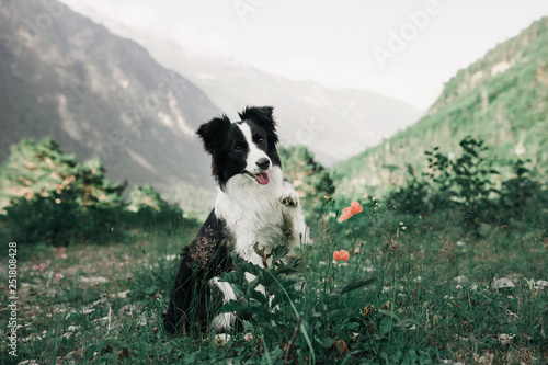 beautiful black and white dog border collie sit on a field with flowers and look in camera Fototapete