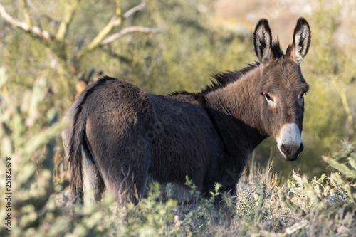 Slika na platnu Wild Burro in the Arizona Desert