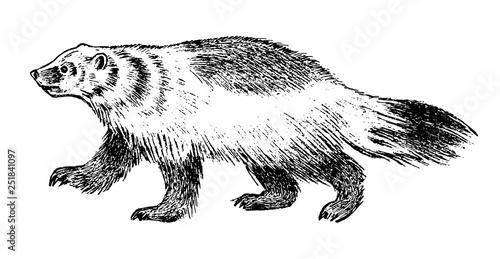Canvas Print Wild Badger, forest animal