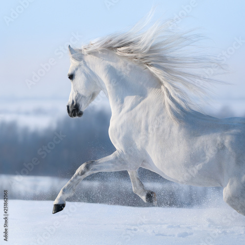 Fotografie, Obraz Beautiful white horse with long mane galloping across winter meadow