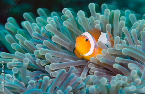 Leinwand Poster Incredible underwater world - Nemo fish. Macro photography.
