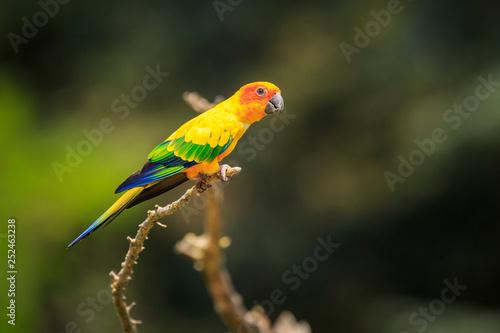 Fotografie, Obraz Closeup of sun parakeet or sun conure Aratinga solstitialis, bird