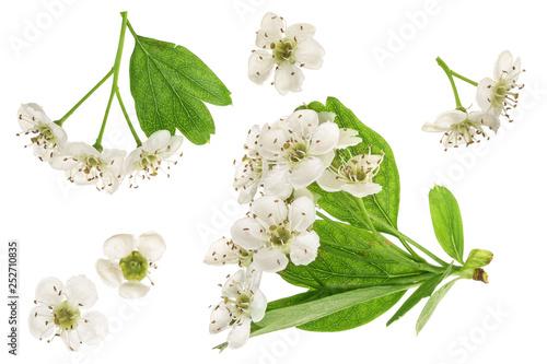 Fototapeta Hawthorn or Crataegus monogyna flowers isolated on a white background