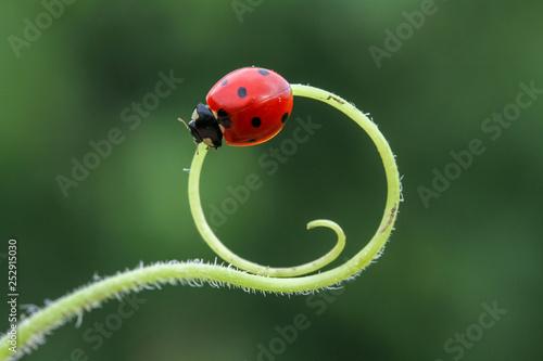 ladybug 12 Fototapeta