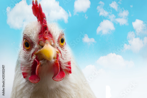 Domestic white hen with red comb at farm Fototapeta