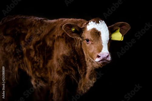 Tela Brown calf standing isolated against a black background