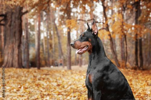 Canvastavla Doberman Pinscher on the background of autumn trees