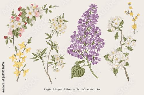 Blooming trees. Vintage vector botanical illustration. Spring set Fototapeta