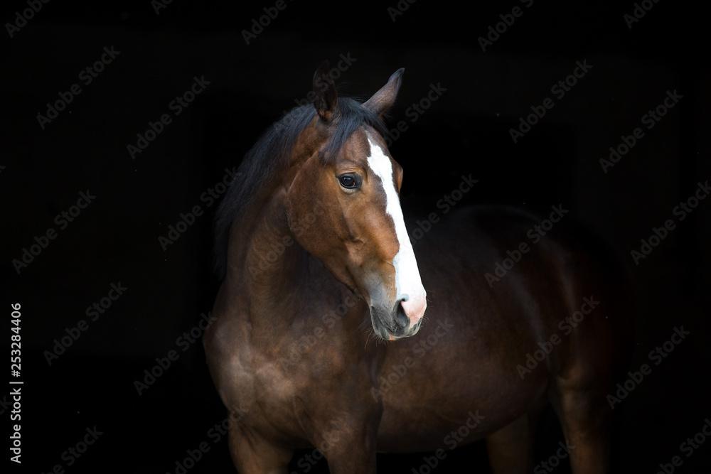 Portret konia na białym tle na czarnym tle <span>plik: #253284406 | autor: callipso88</span>