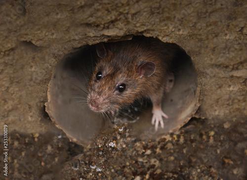 Fotografia Closeup of rat on a sewer