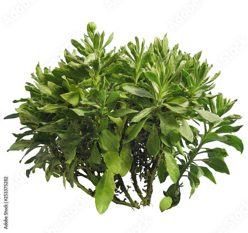 Tropical plant isolated on white background Fototapeta