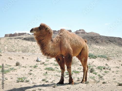 camel in the desert Fototapete