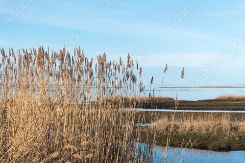 Obraz na plátně Sunlit reeds in a calm marshland