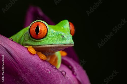 Tablou Canvas Tree Frog in a Tulip II