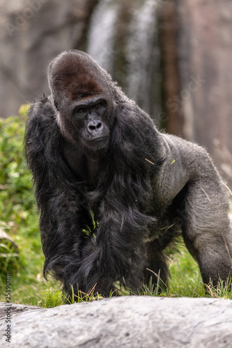 Photo Weatern lowland gorilla