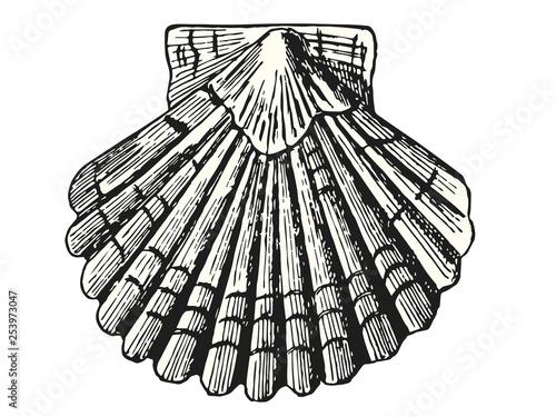 Canvas Print scallop hand drawn vector illustration