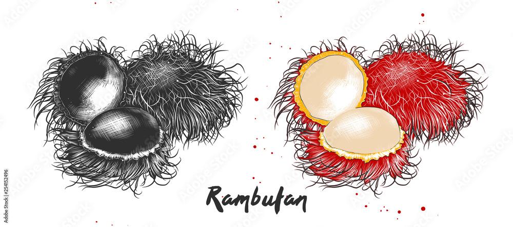 Wektor grawerowane styl ilustracji do plakatów, dekoracji, opakowań i druku. Ręka rysujący nakreślenie rambutan owoc w monochromatycznym i kolorowym. Szczegółowy rysunek wegetariańskiego jedzenia. <span>plik: #254152496   autor: AkimD</span>