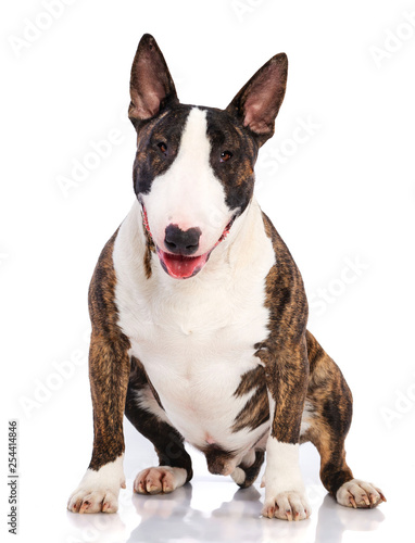 Canvas Print Bullterrier Dog  Isolated  on white Background in studio