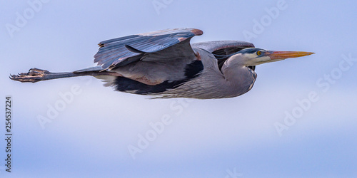 Great Blue Heron In Flight With Blue Sky With White Puffy Clouds Fototapet