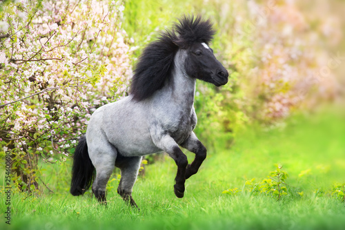 Stampa su Tela Pony rearing up in spring pink blossom trees