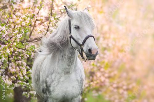Fototapeta White horse portrait in spring pink blossom tree