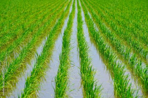 Fotografie, Obraz Close up of paddy field.  水田のクローズアップ