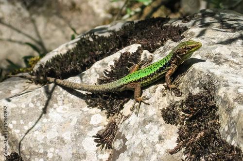 Carta da parati The lizard Lacerta viridis sits on a stone under the sun