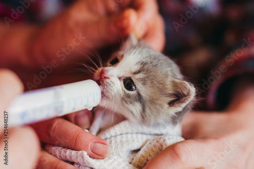 Obraz na płótnie The little kitten is fed milk from a syringe.