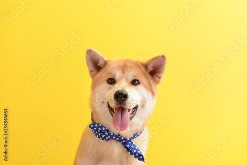 Tableau sur Toile Cute Akita Inu dog on color background