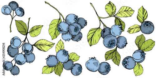 Fototapeta Vector Blueberry green and blue engraved ink art