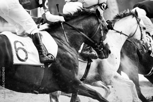 Fotografie, Obraz horse race championship detail closeup in monochrome