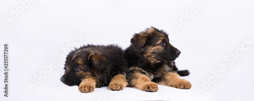 Canvas Print two german shepherd puppy on a white background