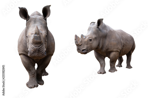 Obraz na płótnie white rhino