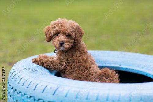 Canvas Print Fluffy Redhead Bichon Poodle Bichpoo Dog Outside in Yard