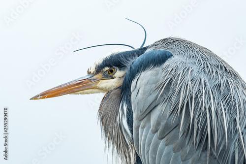 Fotografie, Tablou close up portrait of one great blue heron resting under the wind under overcast