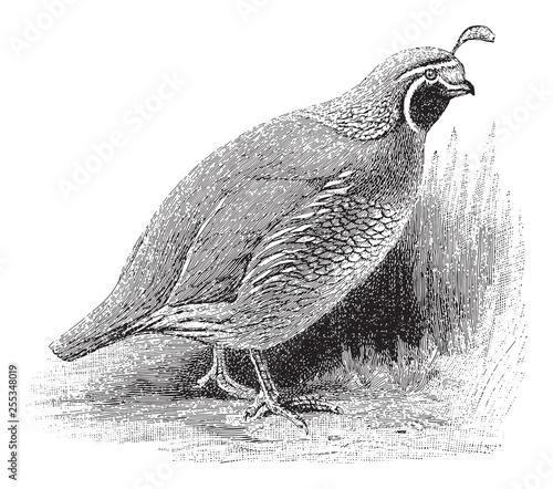 Obraz na płótnie Quail (Lophortyx californicus) / vintage illustration from Meyers Konversations-
