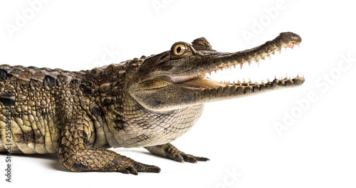 Fotografia West African slender-snouted crocodile, 3 years old, isolated