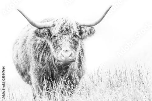 Fotografia Highland Cows,  high key