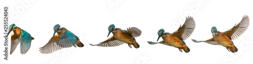 Photo Collage of Common Kingfisher, Alcedo atthis, in flight isolated on a white backg