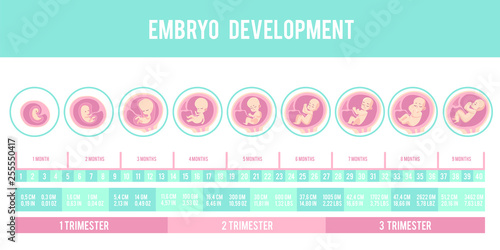 Valokuvatapetti Infographic with stages of pregnancy and embryo, fetus development
