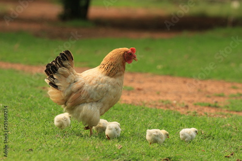 Fototapeta Spring at a farm - a hen with her chickens