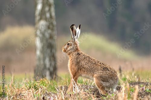 Fototapeta Wild brown hare sitting in a field