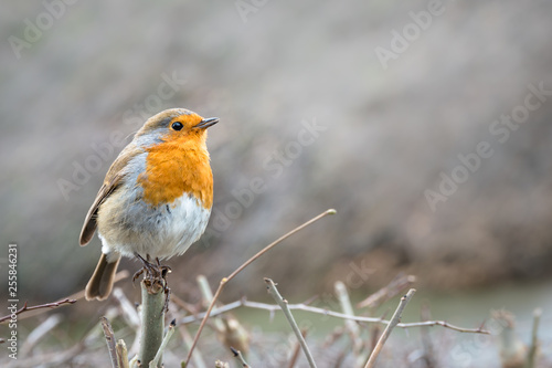 Wallpaper Mural A lightly puffed up English robin redbreast with bright orange chest in profile